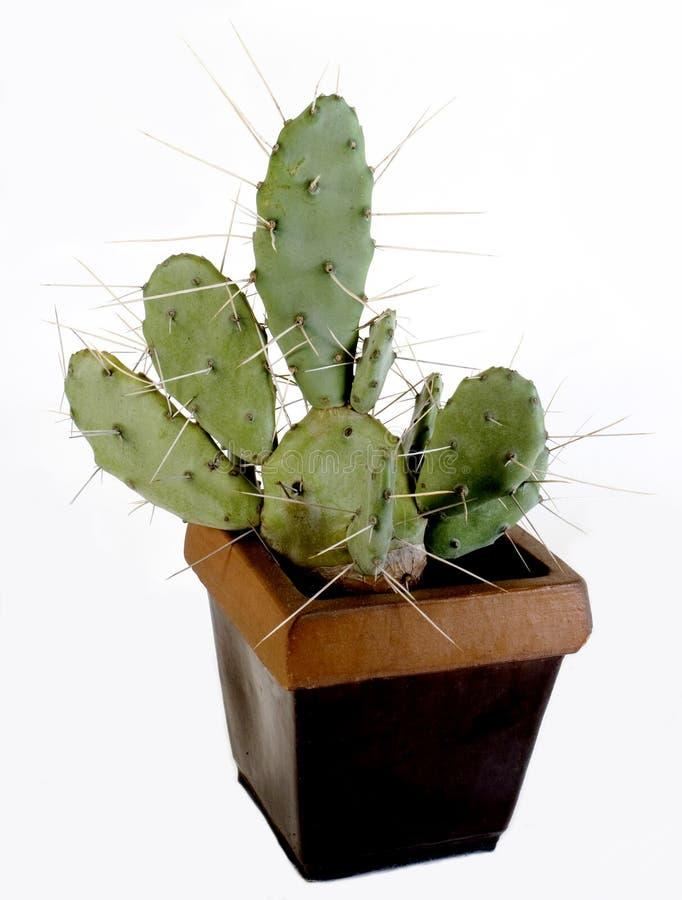 kaktusowy plantatorski cierniowaty fotografia royalty free
