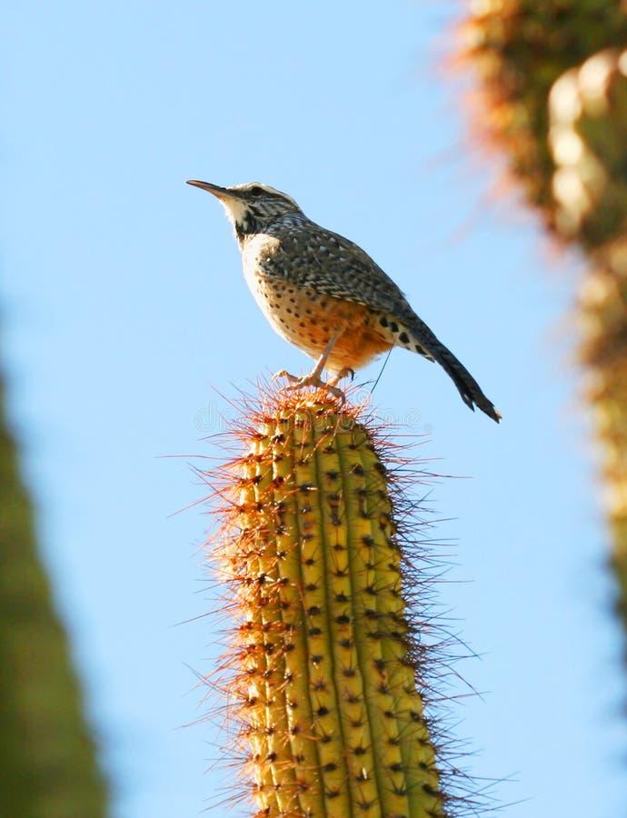 kaktusowy strzyżyk zdjęcie stock