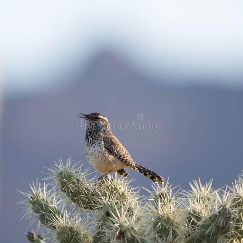 Kaktusowy Strzyżyk, Campylorhynchus brunneicapillus zdjęcia stock