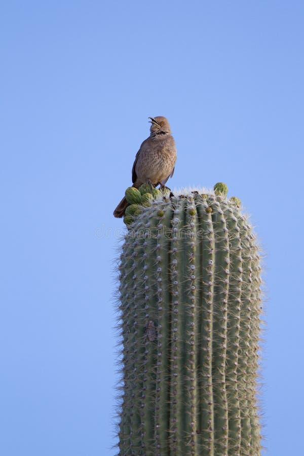 Kaktusowy Strzyżyk, Campylorhynchus brunneicapillus fotografia stock