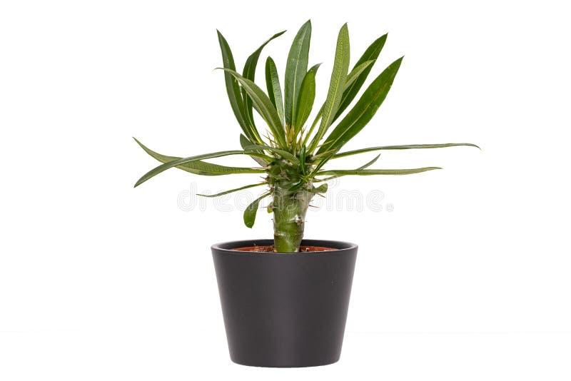 Kaktusowy tło Zbliżenie kaktus w dekoracyjnym ceramicznym garnku odizolowywającym na białym tle Makro- fotografia royalty free