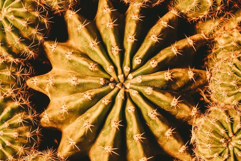 Kaktusowy zbliżenia studia strzał obrazy royalty free