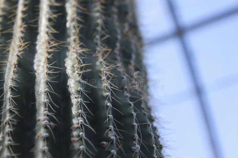 Kaktusowy zbliżenie zdjęcie royalty free
