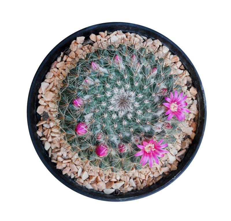 Kaktuspflanze in der Draufsicht des schwarzen Plastiktopfes lokalisiert auf weißem BAC stockbild