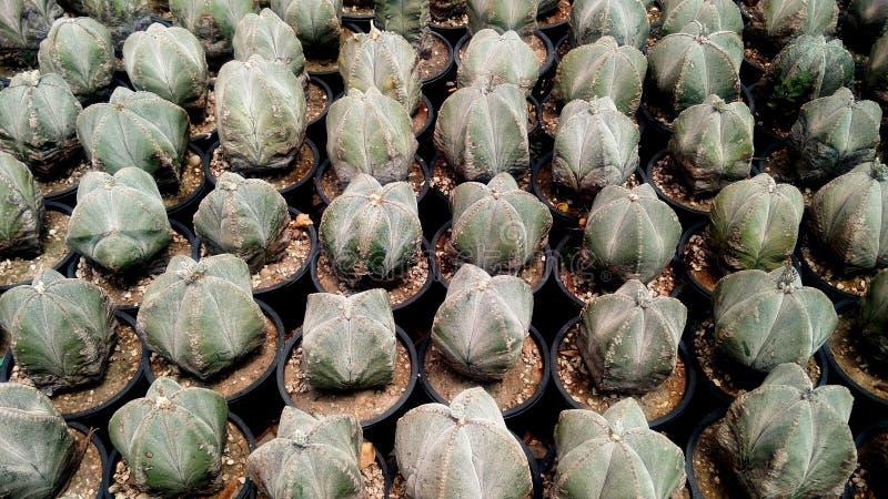 Kaktuspflanze in der Wintersaison lizenzfreies stockbild