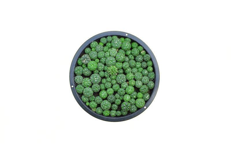 Download Kaktuspflanzen Auf Lokalisiertem Hintergrund Stockbild - Bild von leben, getrennt: 96933589