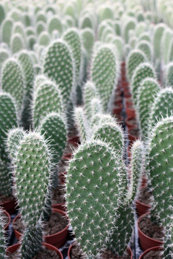 Kaktuspflanzen im Gewächshaus lizenzfreies stockbild