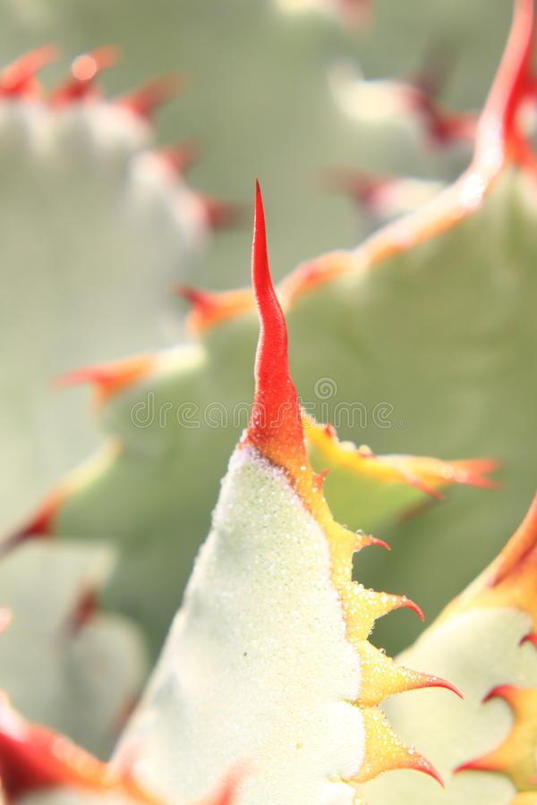 kaktuspigg fotografering för bildbyråer