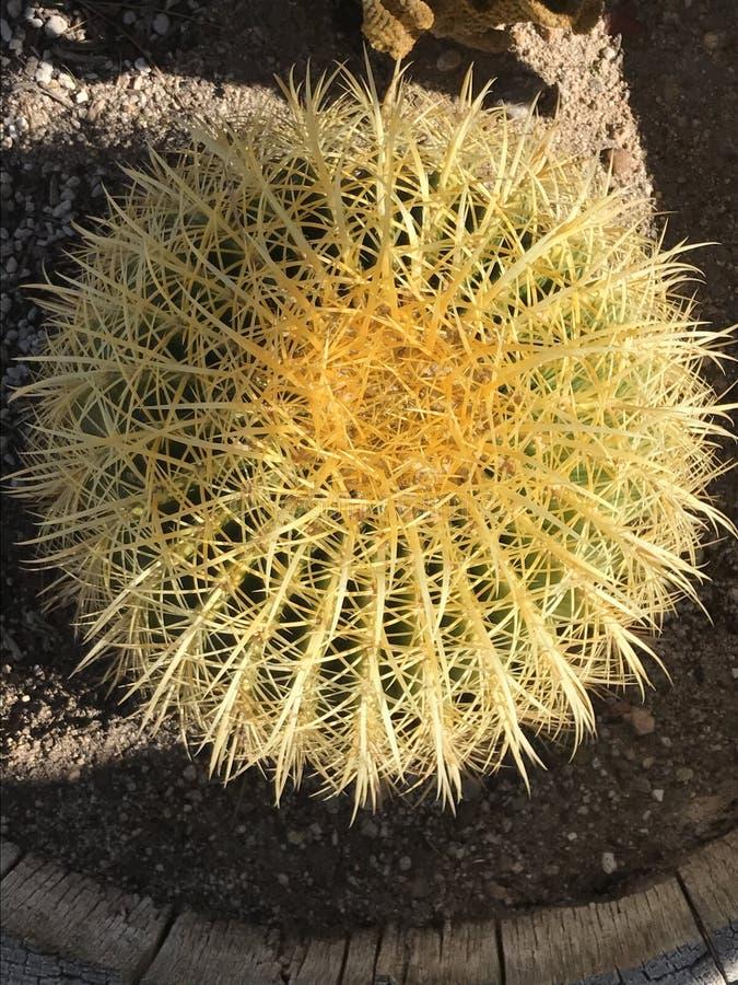 Kaktussitzen stockfotos