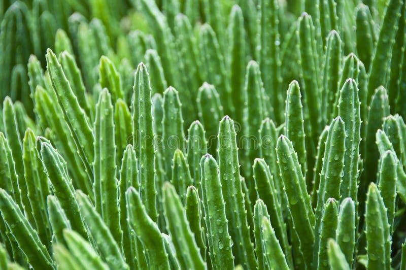 Kaktusskog. royaltyfri fotografi