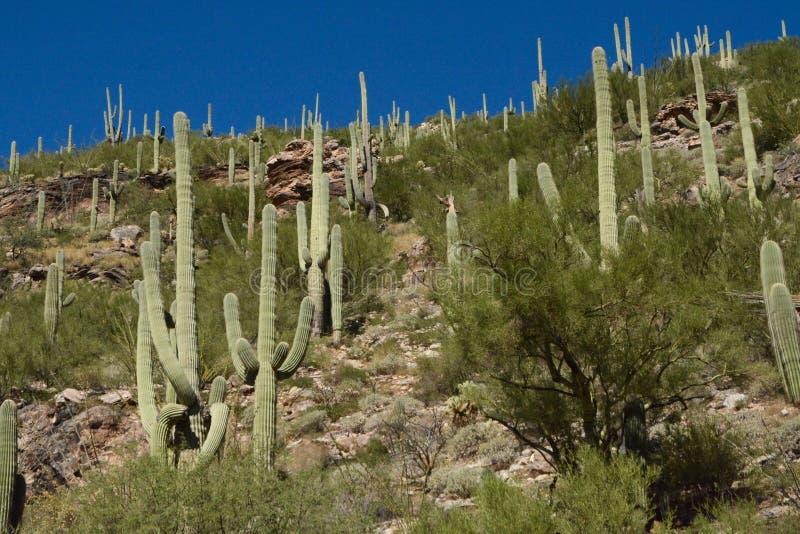 Kaktusskog royaltyfri fotografi