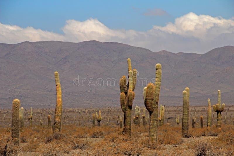 Kaktusskog, Cardones nationalpark, Cachi, Argentina arkivfoto