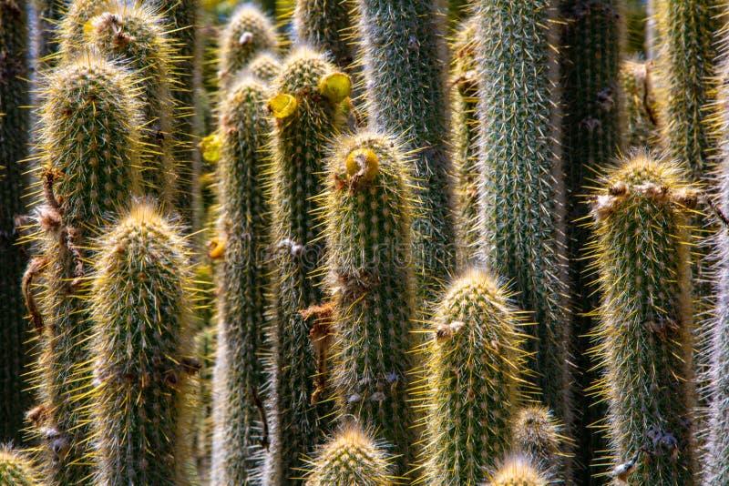 Kaktusskog royaltyfri bild