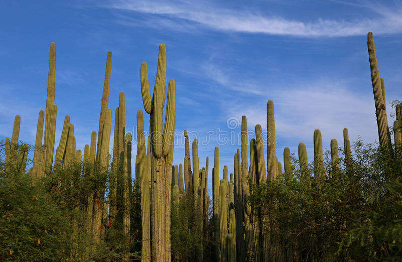 Kaktusskog i Mexico royaltyfria foton