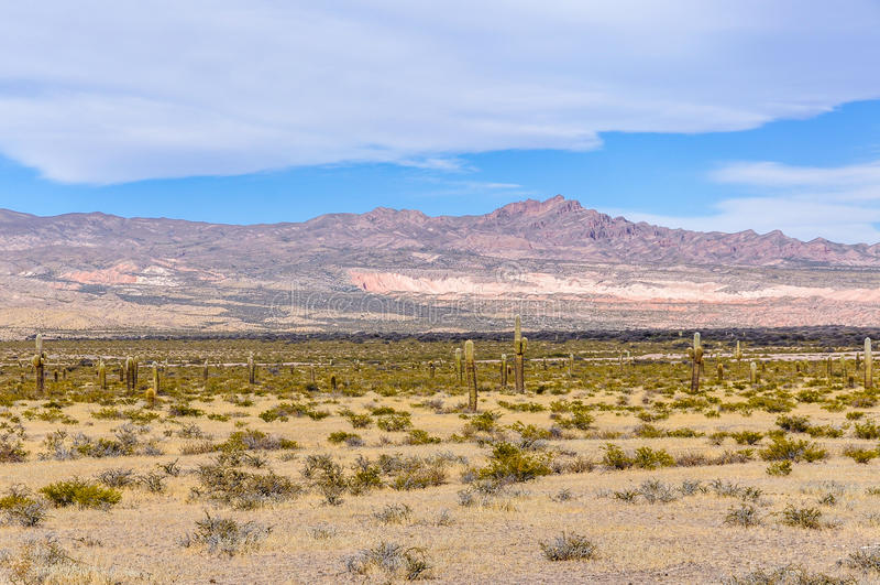 Kaktusskog i nationalparken för los Cardones, Argentina royaltyfria foton