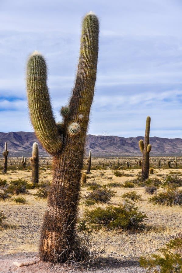 Kaktusskog i nationalparken för los Cardones, Argentina royaltyfri bild