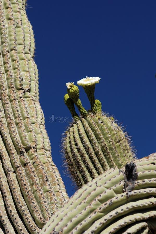 kaktusspringtime för 2 blomningar royaltyfria bilder