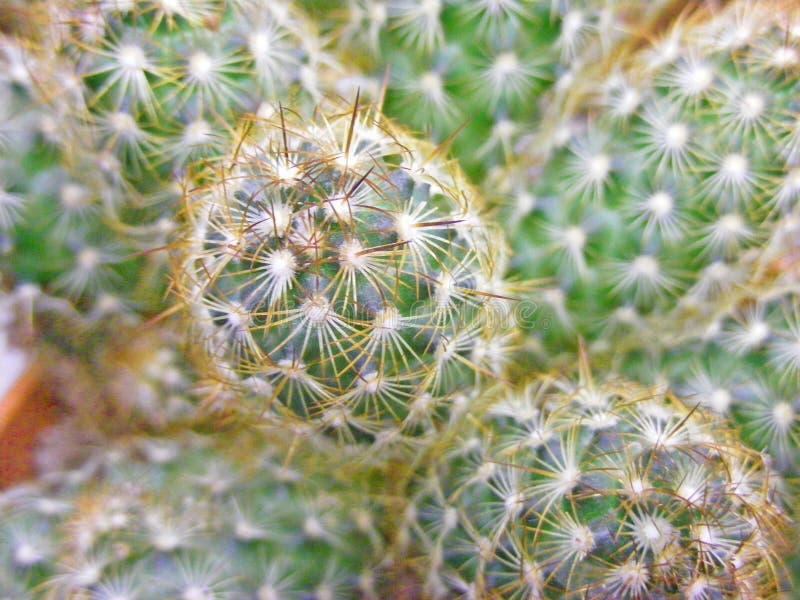 Kaktustexturbakgrund i gående grönt slut upp arkivfoton