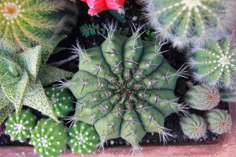 Kaktusträdgård för bästa sikt, mittfokus royaltyfria bilder