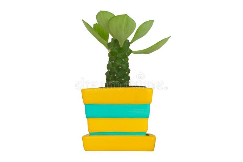 Kaktusväxt i den isolerade krukan fotografering för bildbyråer