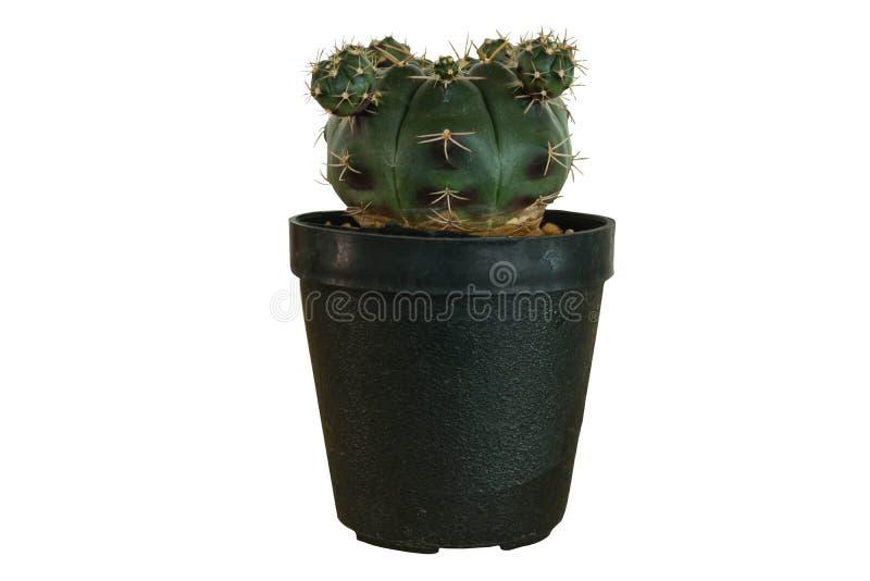 Kaktusväxt i den isolerade krukan royaltyfria bilder