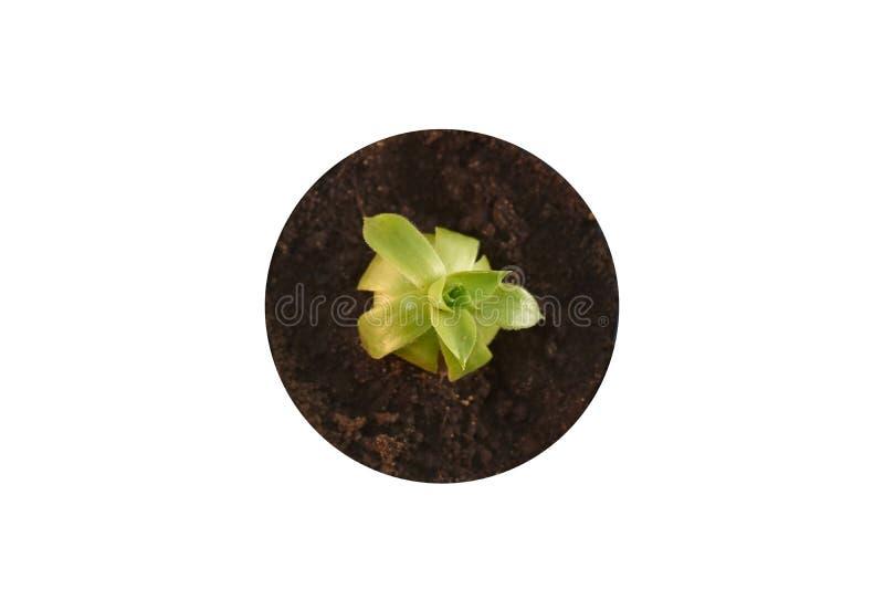 Kaktusväxt in i den jordbästa sikten som isoleras på vit bakgrund succulentus arkivfoton