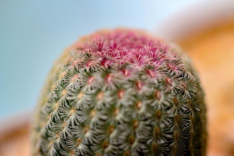 Kaktusväxt i en kruka royaltyfri bild