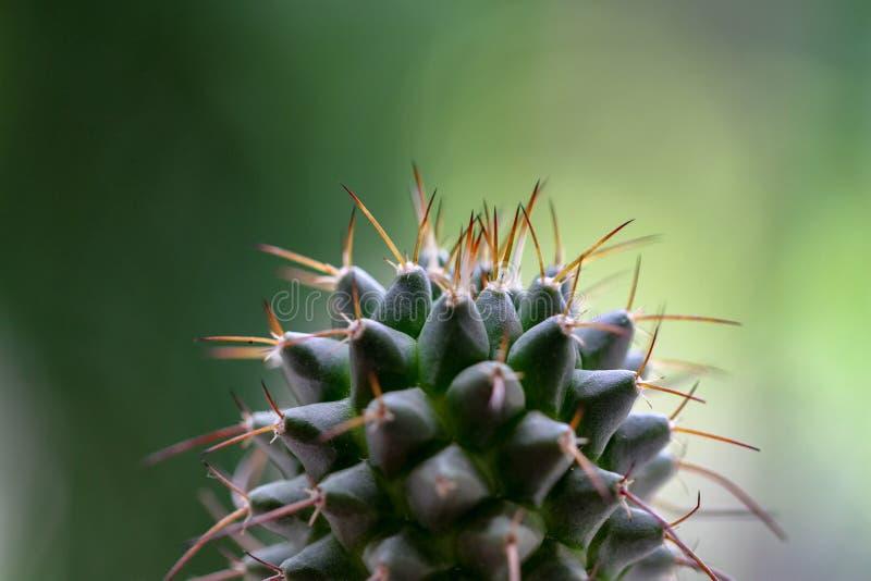 Kaktusväxt i en kruka arkivbilder
