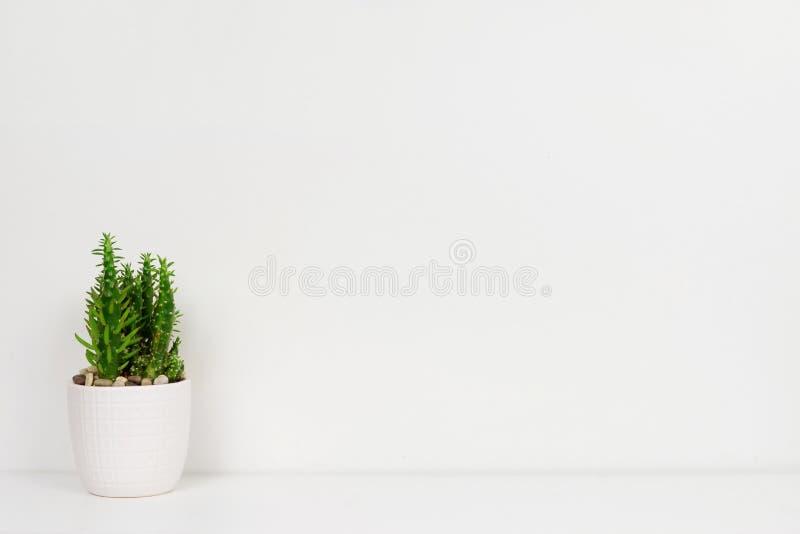 Kaktusväxt i en vit kruka på hylla mot en vit vägg royaltyfria bilder