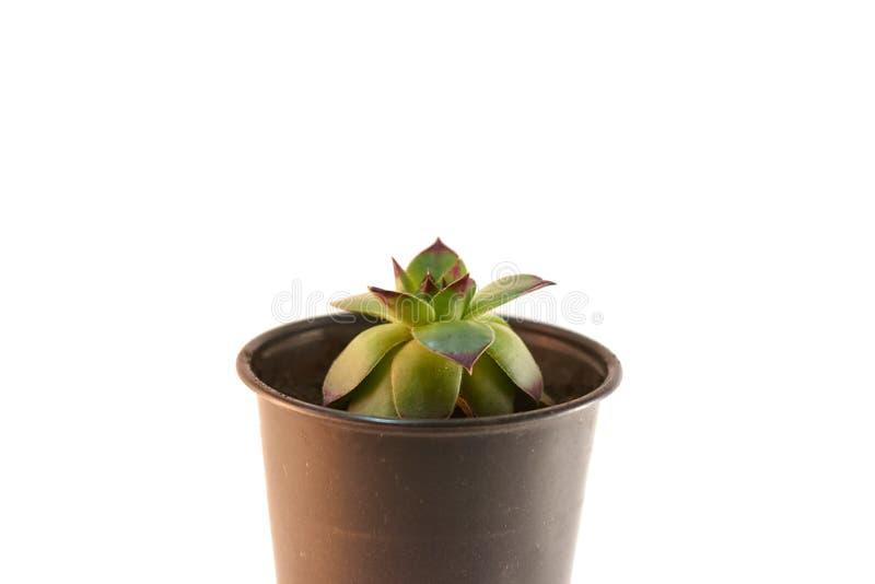 Kaktusväxt i främre sikt för kruka som isoleras på vit bakgrund succulentus arkivbild