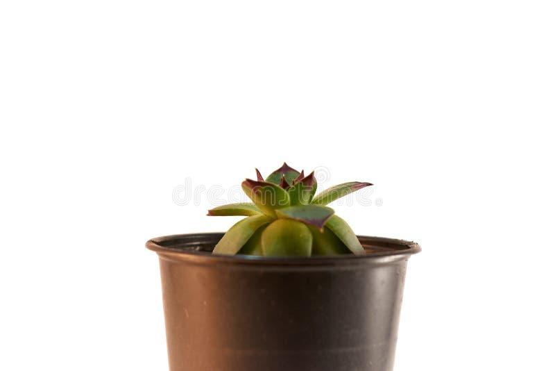 Kaktusväxt i främre sikt för kruka som isoleras på vit bakgrund succulentus royaltyfria foton