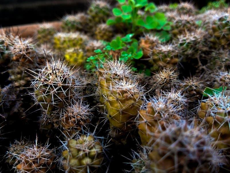 Kaktusväxt i hem- kruka royaltyfri bild