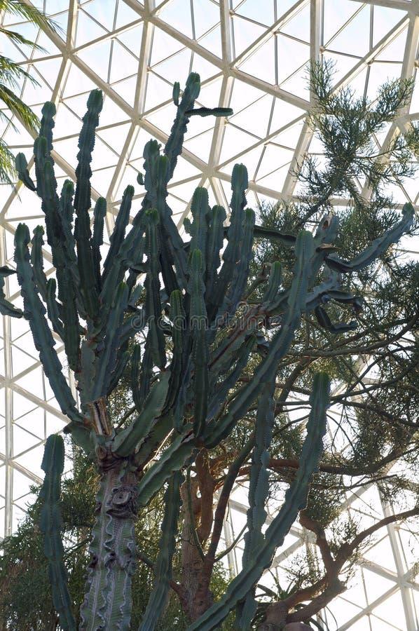 Kaktusväxt på drivhuset royaltyfri fotografi