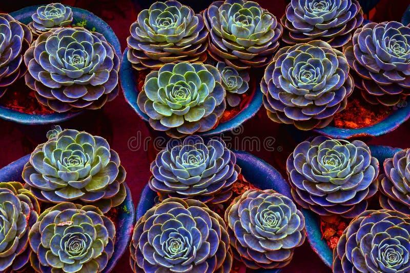 kaktusväxter royaltyfria foton