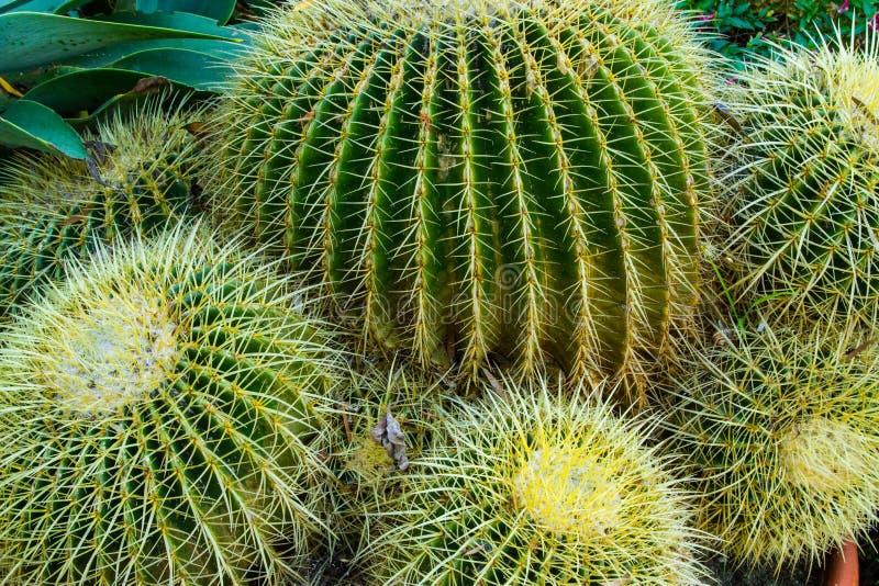 Kaktusväxter arkivfoton