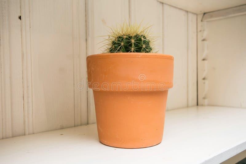 Kaktusv?xt i kruka Lagd in kaktushusv?xt p? den vita hyllan, tr?bakgrund royaltyfri bild