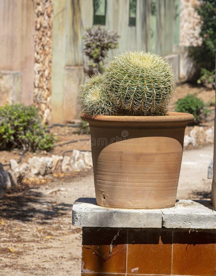Kaktusv?xt i terrakottakruka royaltyfri bild