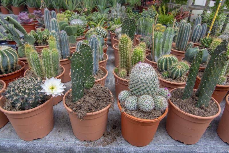 Kaktusv?xter i krukor arkivfoton