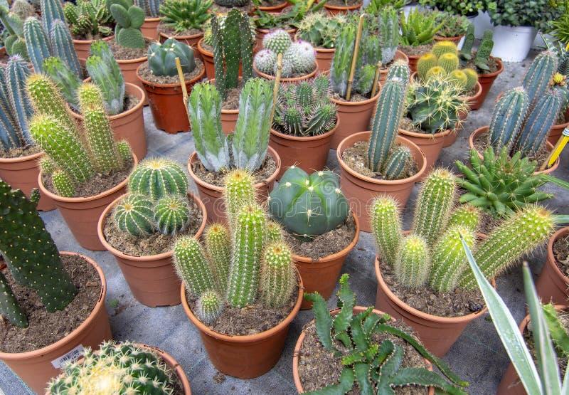Kaktusv?xter i krukor arkivbilder