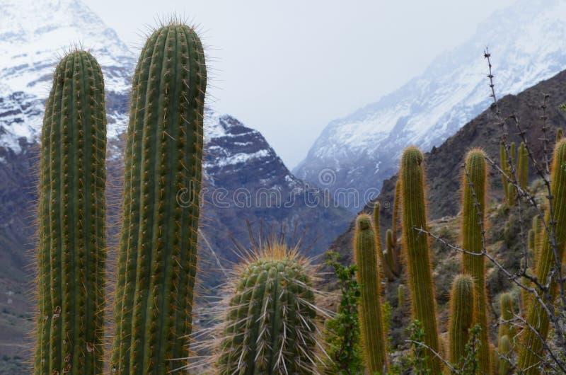 Kaktusy w RÃo Blanco Krajowej rezerwie, środkowy Chile, wysoka różnorodności biologicznej dolina w Los Andes obraz royalty free