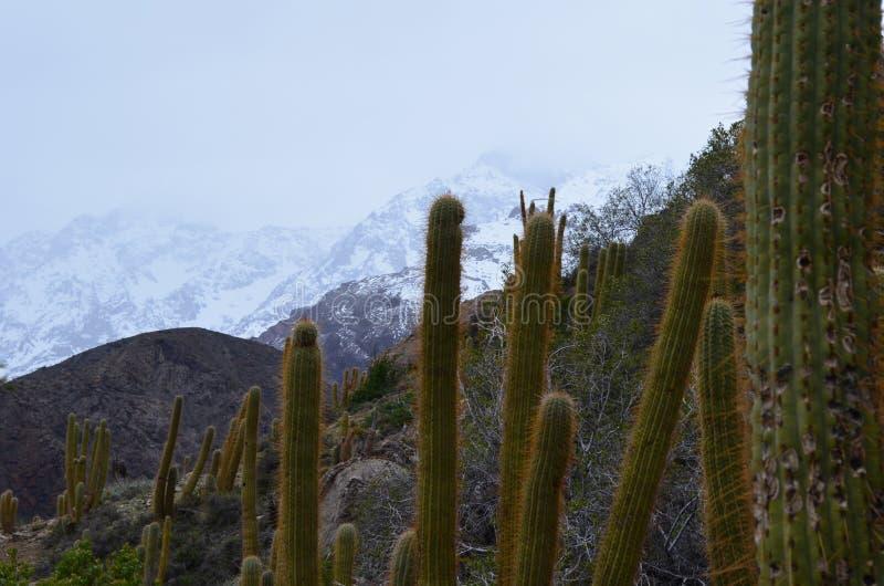 Kaktusy w RÃo Blanco Krajowej rezerwie, środkowy Chile, wysoka różnorodności biologicznej dolina w Los Andes obrazy royalty free