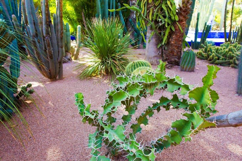 Kaktusy w sławnym Majorelle ogródzie fotografia stock