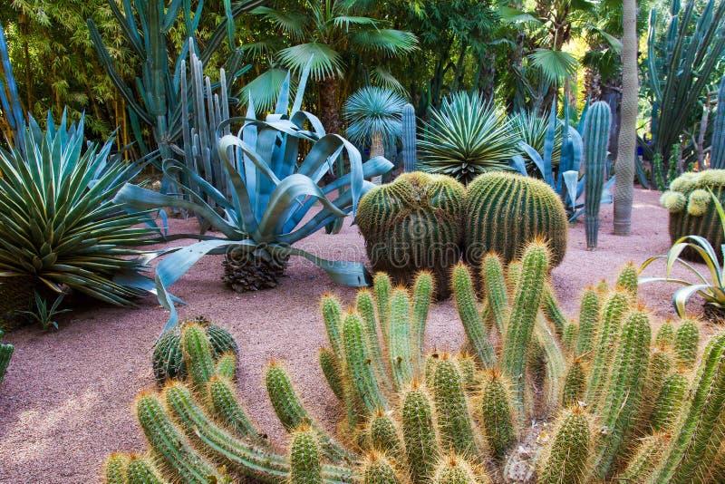 Kaktusy w sławnym Majorelle ogródzie w Marrakech zdjęcie stock