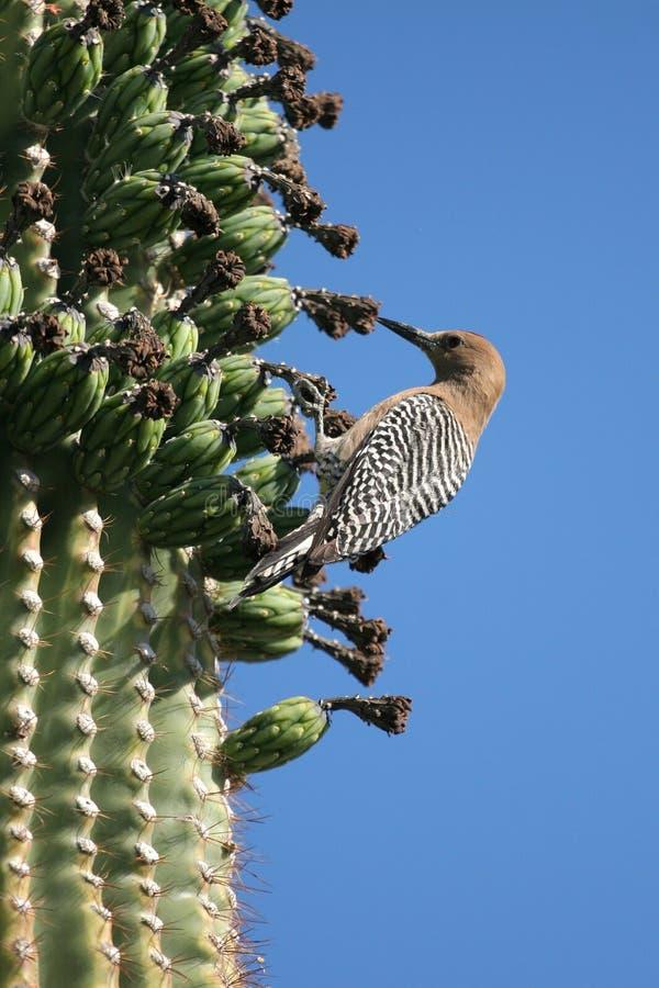 Kaktuszaunkönig stockbilder