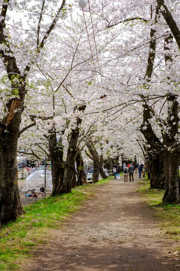 Kakunodate,Akita,Tohoku,Japan on April 27,2018:Strolling under cherry blossom tunnel along the Hinokinai River in spring royalty free stock photography