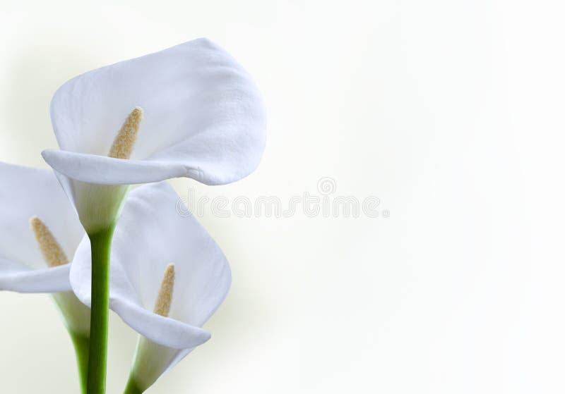 kala цветка стоковая фотография