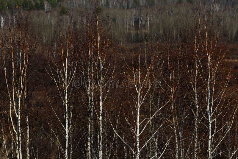 Kala björkträd royaltyfri foto