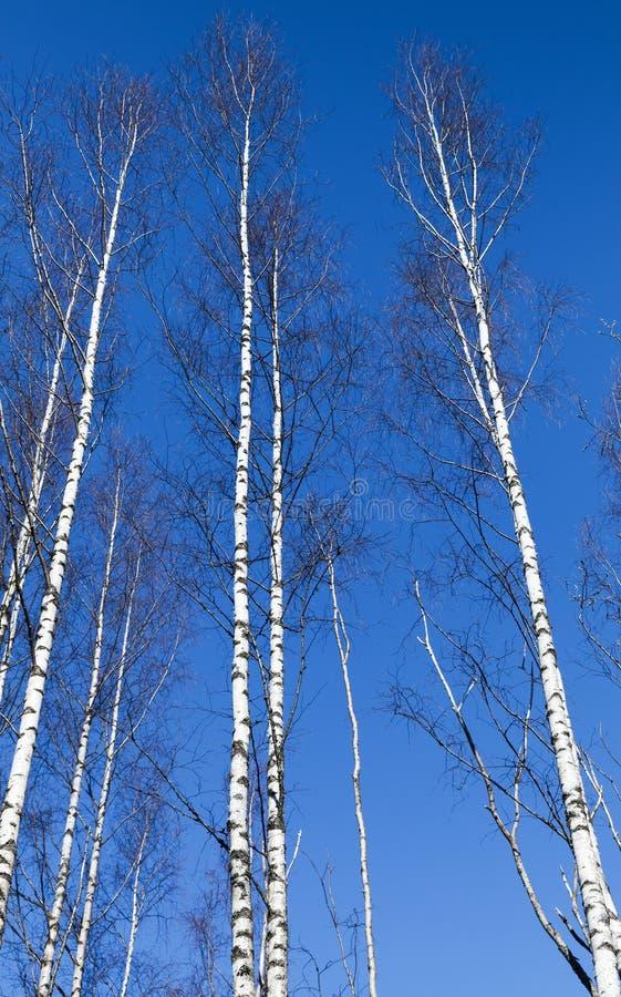 Kala björkträd för högväxt vit över blå himmel arkivfoto