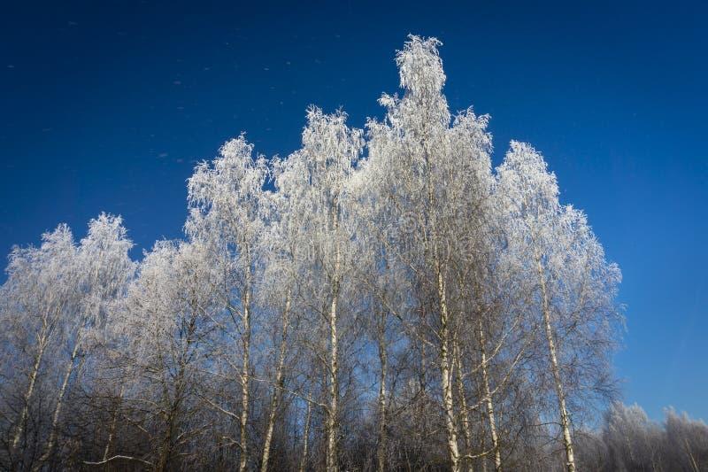 Kala björkträd med djupfrysta filialer royaltyfri bild