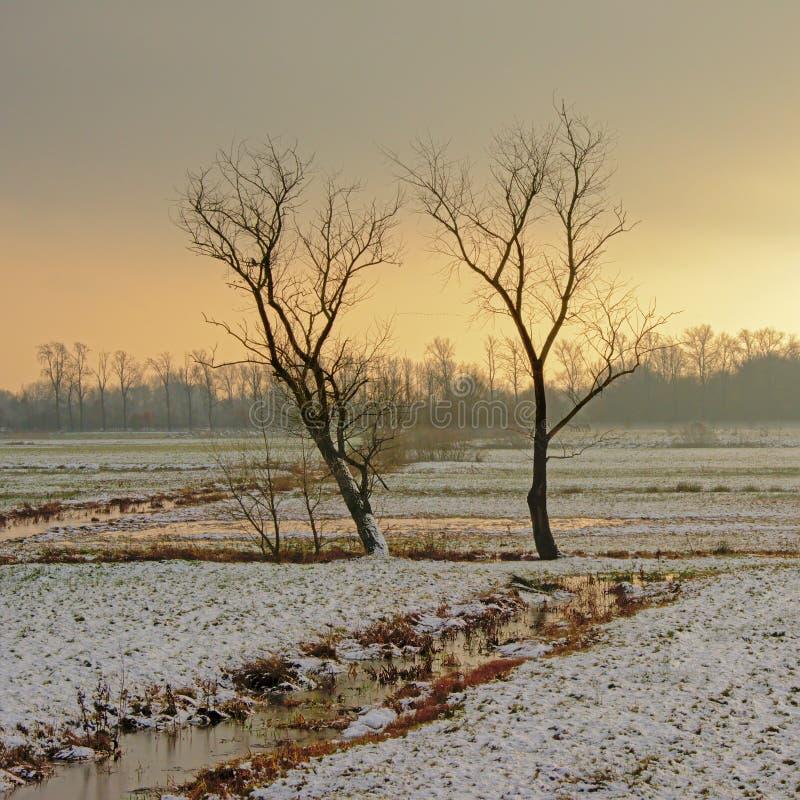 Kala träd i ett flemish vinterträsklandskap med insnöat aftonen tänder arkivbild